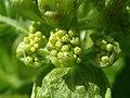 Hydrangea anomala subsp. petiolaris 2019-04-16 0140.jpg