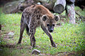 Hyena Looking at Camera (21386933813).jpg