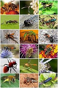 Hymenoptera Diversity.jpg