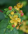 Hypericum androsaemum in Waioeka Gorge SR 02.jpg