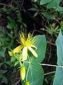 Hypericum grandifolium20080608.jpg