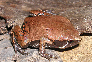 Mexican narrow-mouthed toad species of amphibian