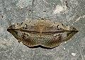 Hypopyra vespertilio by Dr. Raju Kasambe DSCN0468 (12).jpg