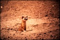 IN ORDER TO ERADICATE SQUIRREL COLONIES, POISONS WERE ADDED TO GRAIN. WEASELS WHICH DON'T EAT GRAIN, - NARA - 542629.tif