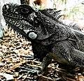 Iguana Preta Santos SP.jpg