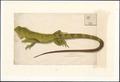 Iguana delicatissima - 1800-1839 - Print - Iconographia Zoologica - Special Collections University of Amsterdam - UBA01 IZAA100171.tif