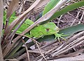 Iguana iguana (juvenile) in Lençóis Maranhenses National Park - ZooKeys-246-051-g005-C.jpeg