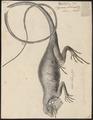 Iguana tuberculata - 1700-1880 - Print - Iconographia Zoologica - Special Collections University of Amsterdam - UBA01 IZ12800045.tif
