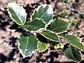 Ilex aquifolium Campus Variegated 2zz.jpg