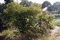 Ilex verticillata x serrata Harvest Red 3zz.jpg