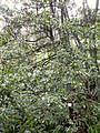 Illicium anisatum - Miyajima Natural Botanical Garden - DSC02331.JPG
