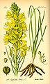 Illustration Asphodelus luteus0.jpg