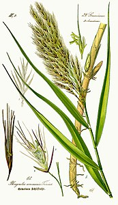 Illustration Phragmites australis0 - clean.jpg
