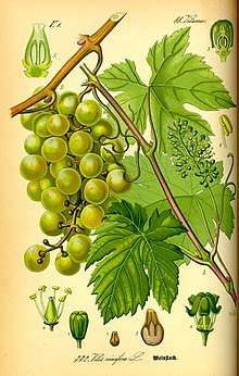 Grape seed oil - Wikipedia, the free encyclopedia