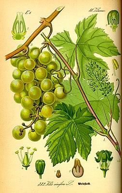 Vitis vinifera subsp. vinifera (Edle Weinrebe)