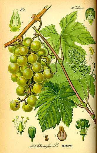 Grape seed oil - Grape seeds (numbers 7 and 8) and grapes