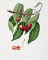 Illustration from Pomona Italiana Giorgio Gallesio by rawpixel00026.jpg