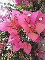 Indian flower 01.jpg