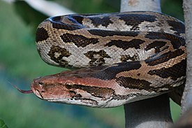 Indian rock python pratik dahod.JPG