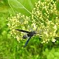 Insect from Madayipara DSCN2640.jpg