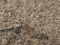 Inyo threadplant, Nemacladus sigmoideus (31261580013).jpg