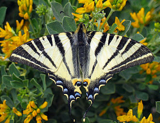 Scarce swallowtail - Iphiclides podalirius. Upperside