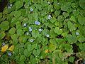 Ipomoea parasitica (Kunth) G. Don (6317591483).jpg