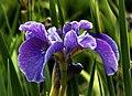 Iris (3) (8181119248).jpg