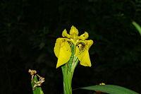 Iris pseudacorus b1.JPG