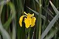 Iris pseudacorus flowering.jpg