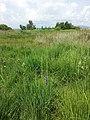 Iris sibirica sl4.jpg