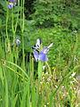 Iris sp. ITS 111 (19097197931).jpg