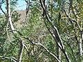 Ironwood, Saguaro National Park (Tucson Mountain District), Arizona (a1c5e131-427b-4042-9d0e-97edbff40be0).jpg