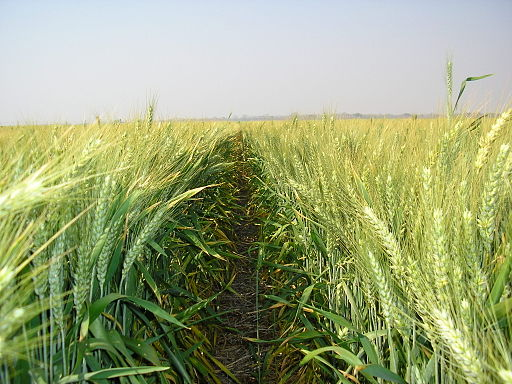 Irrigated Wheat field