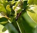 Itoplectis maculator. Ichneumonidae (33726160411).jpg