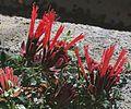 J20160915-0061—Monardella macrantha—RPBG (29215724903).jpg