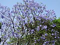 Jacaranda mimosifolia in India.jpg