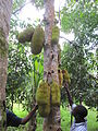 Jackfruit in tree.jpg