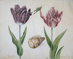 Jacob Marrel - Jacob Marrel: Two tulips, a shell and an insect, 1634