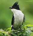 Jacobin Cuckoo - Adult.jpg