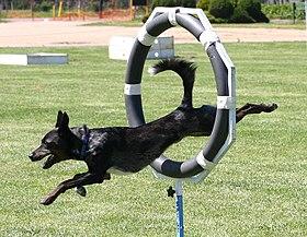 Dog Agility Shows