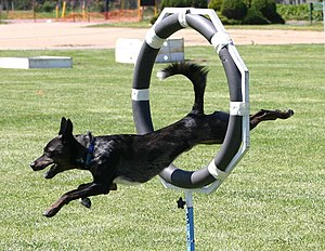 Geography of dog agility - A Kollie taking part in an agility competition.
