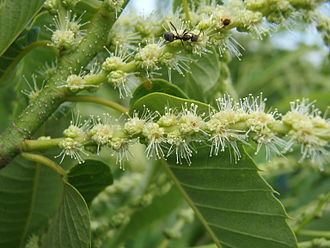 Chestnut - Male chestnut flowers