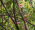 Japanese Crepe Myrtle, Crape Myrtle 'Miami' (Lagerstroemia x fauriei).jpg