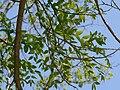 Japanese Pagodatree (Sophora japonica) leaf details.jpg
