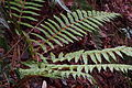 Japanese tassel fern (Polystichum polyblepharum) (2) (16421710043).jpg