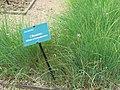 Jardin des simples de l'hôtel-Dieu de Tournus (Allium schoenoprasum).jpg