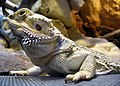 Jesperhus - bearded dragon ubt.jpg