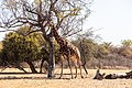 Jirafa (Giraffa camelopardalis), Santuario de Rinocerontes Khama, Botsuana, 2018-08-02, DD 02.jpg