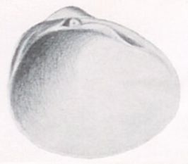 Pisidium clessini